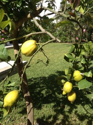 pick your own lemon from our tree